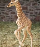 what baby giraffes look like.