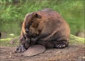 Fat beaver