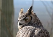 This is an owl that lives in the desert.