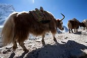 Yaks and Sherpas