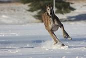 Greyhounds love to run!