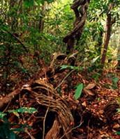 Amazonian vines