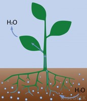 How does water enter a plant and get to the leaves??