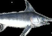 What do swordfish look like
