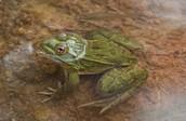 Lithobates Subaquavocalis (Ramsey Canyon Leopard Frog)