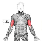 Biceps brachil