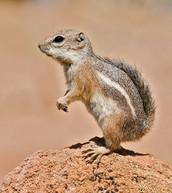 Antelope ground squirrels (Ammospermophilus)