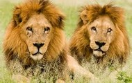 lions travel in herds