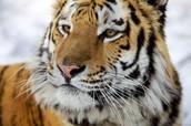 Tiger Quest Footage