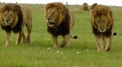 They see a threat entering their territory so the males go check it out.