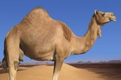 More Camels than Koalas?