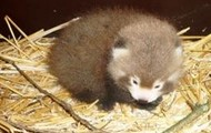 de kleine baby rode panda