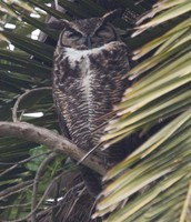 Great Horned Owl at Fort Mason