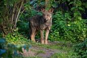 Iberain Wolf