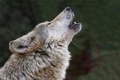 A Brief Howl