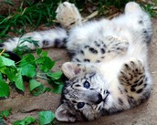 Why is the Snow Leopard endangered