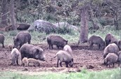 Feral Hogs: What the Problem