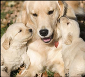 a mama golden and her babies