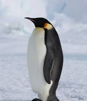 This is an emperor penguin