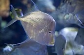 Mundo Maya ( Look down Fish )