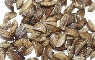 Zebra Mussels!