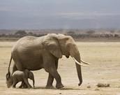 Mommy Elephants