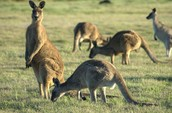 Australian National Animal