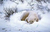 Polar Bear sleaping in the snow