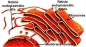 reticle endoplasmatic