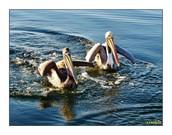 http://fineartamerica.com/featured/pelican-pair-pamlico-sound-mark-lemmon.html