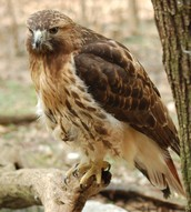 Habitat of the Red Tailed Hawk