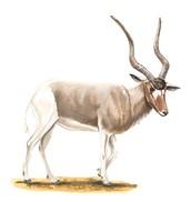 addax horns