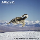 Male Snow Leopard