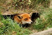 A fox sticks his head out of his den