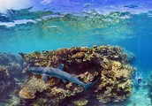 Coral reef with shark.