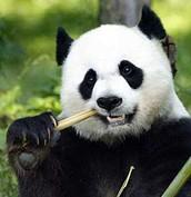 Panda that is Eating