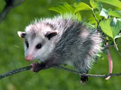The Opossom