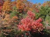 Brodleaf Trees
