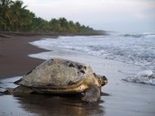 El desove de las tortugas en Tortuguero