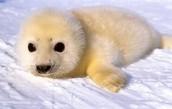 Endangered Baby Harp Seal