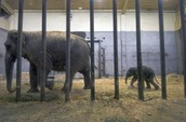 Elephants in a cage