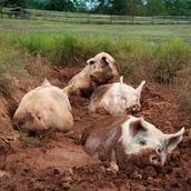 Feral Hogs Invasive Species