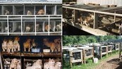 Puppy Mills/Farms