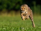 Cheetah's mother