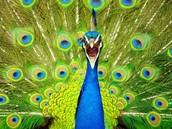 Hera's peacock