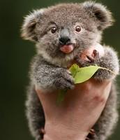 what do koalas eat ?