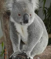 The Koala that Caused All the Trouble