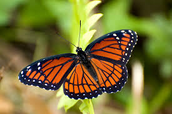 Monarec Butterfly