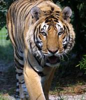 A stalking tiger