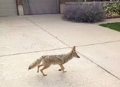 Coyote in an unnatural environment.